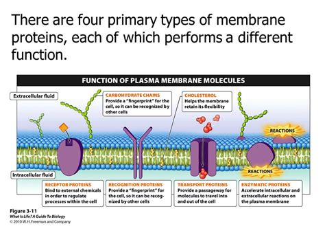 4 proteins in cell membrane the smallest part of you ppt