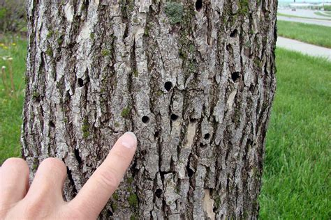 what does a tree to do with frequently asked questions about emerald ash borer