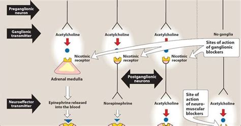 Anticholinergic Also Search For Succinylcholine Mechanism Of Search Vet Search And