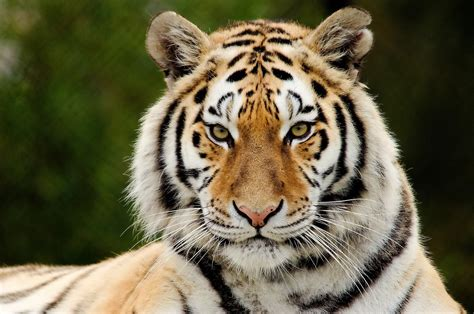 Essay On Tigers In India by Essay On Tiger National Animal Of India Speech Article Paragraph