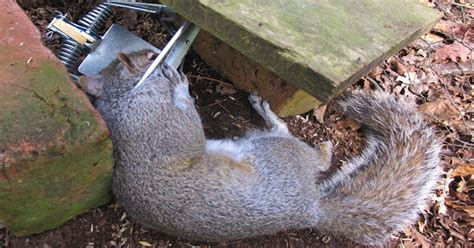 squirrel trapping gamekeeping at it s best global realtree
