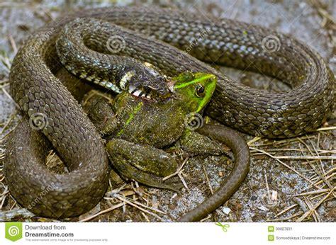rana alimentazione il serpente mangia la rana immagine stock immagine di