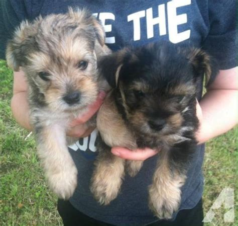 schnorkie puppies for sale schnorkie puppies for sale for sale in kellyville oklahoma classified