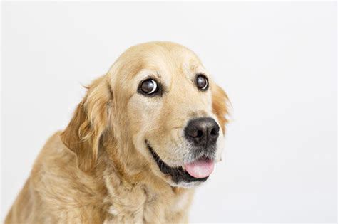 can golden retrievers be left alone get the scoop on golden retrievers dogtime