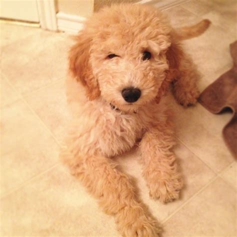 goldendoodle puppy food calculator 1000 images about puppies on f1b goldendoodle