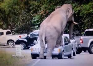 Car Rental Bangkok To Khao Yai Elephants Stop Traffic In Thailand S Khao Yai National