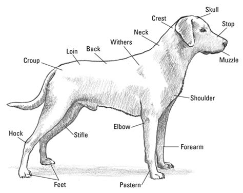 golden retriever fact sheet labrador parts all things canine labradors parts and for