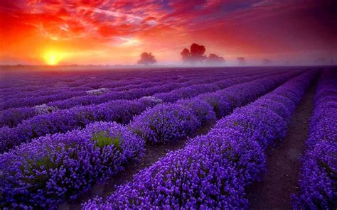 tapete lavendel lavender wallpaper android apps on play