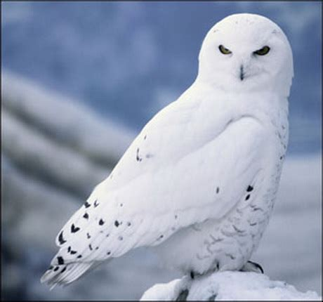 snowy owl animal wildlife