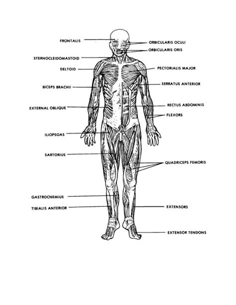muscles of the diagram diagrams of muscular system diagram site