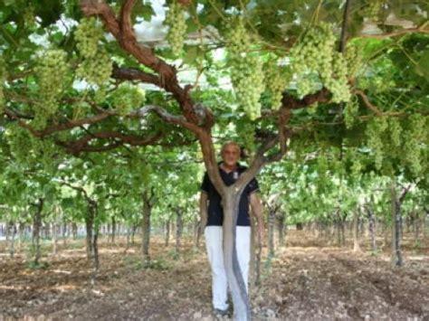uva da tavola coltivazione uva da tavola in discussione il primato dell italia