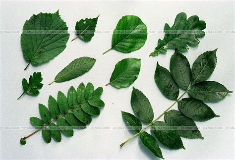 how to identify fruit trees by leaf fruit tree leaves identification chart pictures to pin on