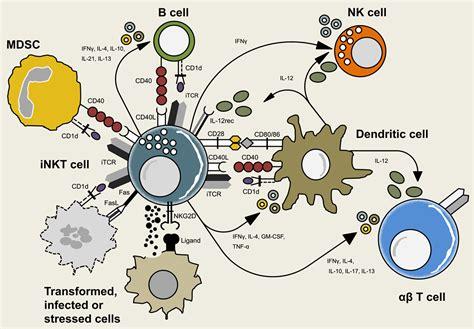 frontiers functional crosstalk between dendritic frontiers reciprocal crosstalk between dendritic cells