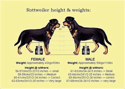 size of a rottweiler vs rottweiler rotties rottweilers