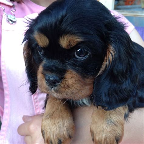 king puppy black cavalier king charles spaniel puppy doncaster south pets4homes
