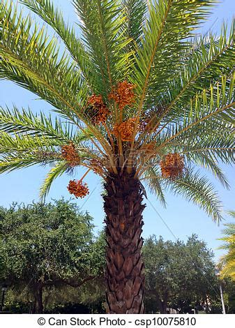 a date palm tree ready to drop ripe dates.