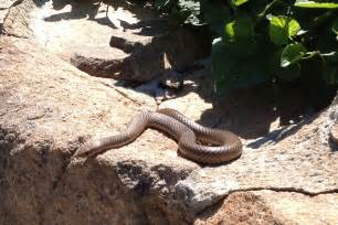 how to find snakes in your backyard rspca act snakes alive