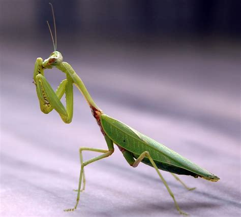 praying mantis garden pest innovative pest solutions the praying