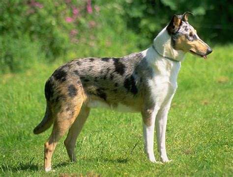 smooth collie puppies smooth collie pictures posters news and on your pursuit hobbies interests