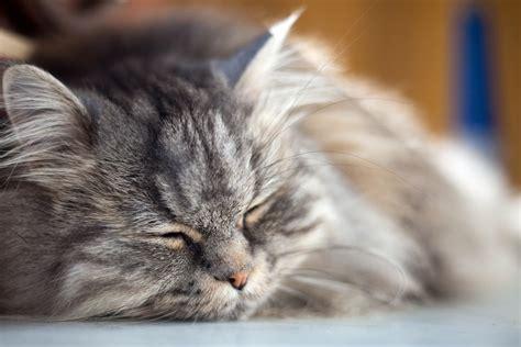 pet md bump on cat skull cats