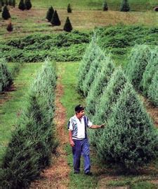 mississippi christmas tree farm website http www merrychristmastreefarm