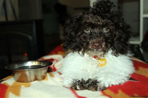how to get a ponytail on a poodle how to get a ponytail on a poodle my little poodle my