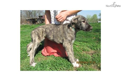 wolfhound puppies for sale near me wolfhound for sale for 1 400 near bowling green kentucky 63b7cf6e 4501
