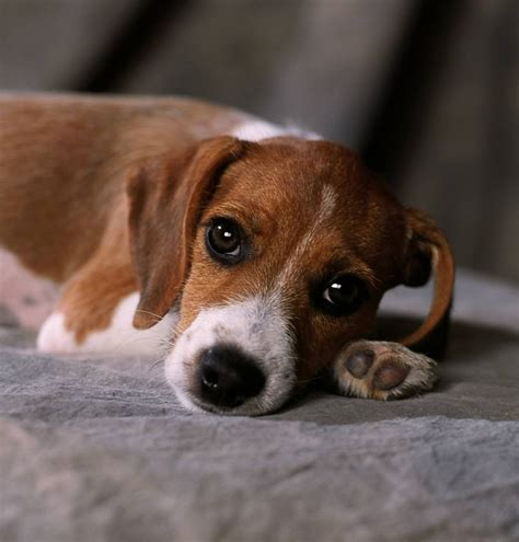 beagle terrier mix puppy beagle terrier mix puppies picture breeders guide