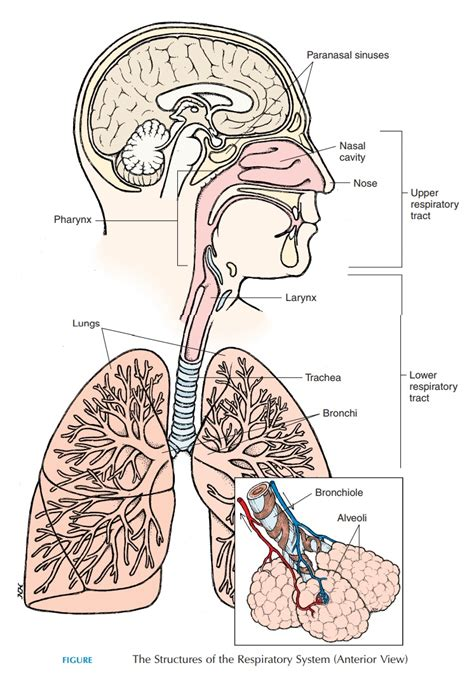 Respiratory Description by Respiratory Tract Anatomy Of The Respiratory System Study Material Lecturing Notes