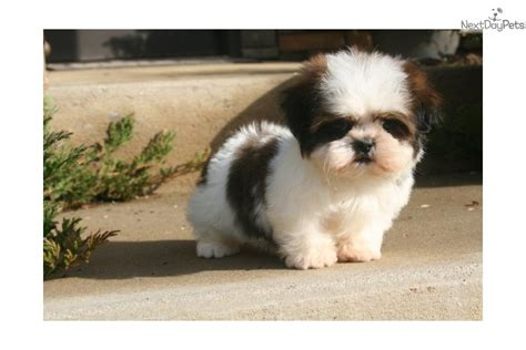 puppy shih tzu names shih tzu haircuts for boys hairstylegalleries