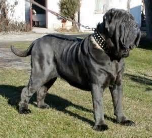 Biggest neapolitan mastiff