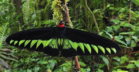 green butterfly wallpaper funny animal big black green butterfly wallpaper hd animals wallpapers