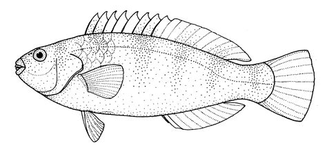 coloring pages of parrot fish file leptoscarus vaigiensis marbled parrotfish gif