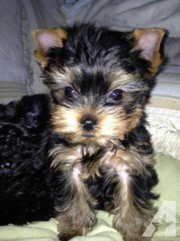 teacup yorkie for sale in oklahoma akc ch bloodlne teeny tiny teacup yorkie yorkshyre terrier for sale in edmond