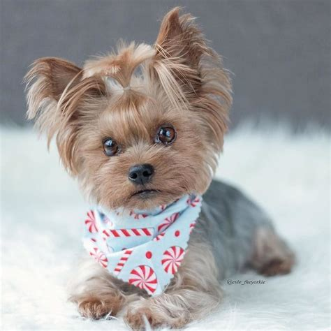 yorkshire terrier haircuts instructions pin by faye cbell on cute animals pinterest