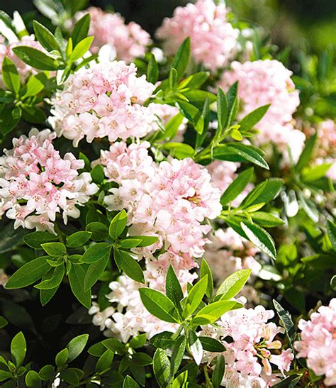 nugget by bloombux rhododendron nugget by bloombux 174 1a qualit 228 t kaufen