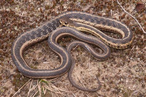Garter Snake Michigan The Buckeye Herps Michigan Travels