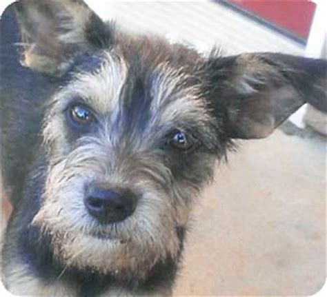 poway yorkies delila adopted puppy poway ca schnauzer miniature yorkie terrier mix