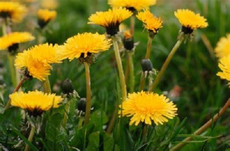 fiori dente di dente di il fiore fa bene alla salute