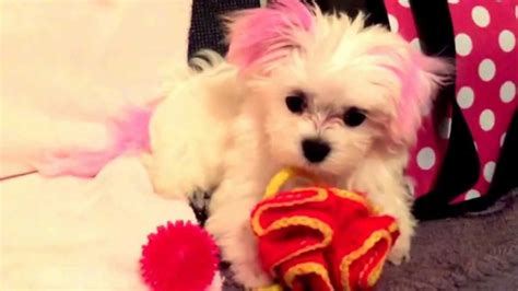 maltese dog cottony hair maltese puppy with pretty cotton candy pink hair too cute