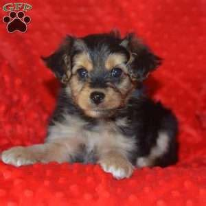 yorkie poo breeders in ohio yorkie poo puppies for sale from loving breeders greenfield puppies
