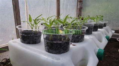 Nutrisi Hidroponik Ab Mix Yang Bagus 7 langkah mudah cara menanam kangkung hidroponik tanpa ab mix