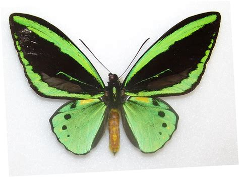 new butterfly green are there butterflies in your stomach two new types join