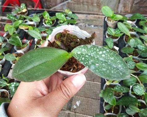 Bibit Anggrek Seedling jual seedling anggrek bulan phalaenopsis warna acak