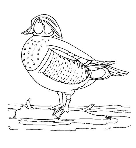 realistic mallard coloring page coloring pages