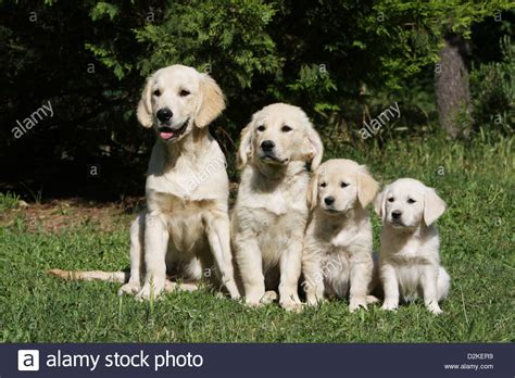 are golden retrievers family dogs golden retriever family of different generations s and stock photo royalty