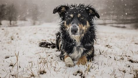 hypothermia in dogs hypothermia in dogs symptoms causes treatments dogtime