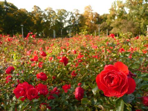 rose fields  haiga  deviantart