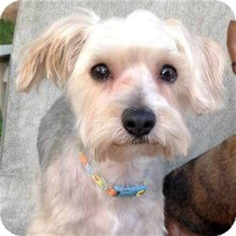 miniature poodle yorkie mix murphy adopted deerfield il yorkie terrier poodle miniature mix