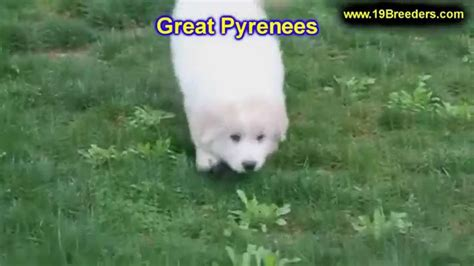 puppies for sale in florida craigslist great pyrenees puppies dogs for sale in miami florida fl 19breeders